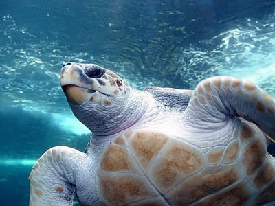 Click to enlarge image marine_turtle-kish13.jpg